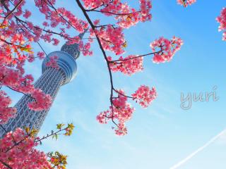 スカイツリー撮影は桜×青空×魚眼で差をつけて