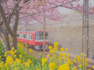 2月に桜と菜の花が撮れる!?ひと足早い春を楽しめる三浦海岸へ