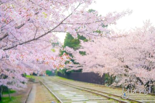 蹴上インクラインの桜撮影に3回チャレンジ!
