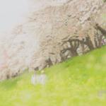 関西一のお花見スポット「淀川河川公園背割堤地区」で見た圧巻の桜たち