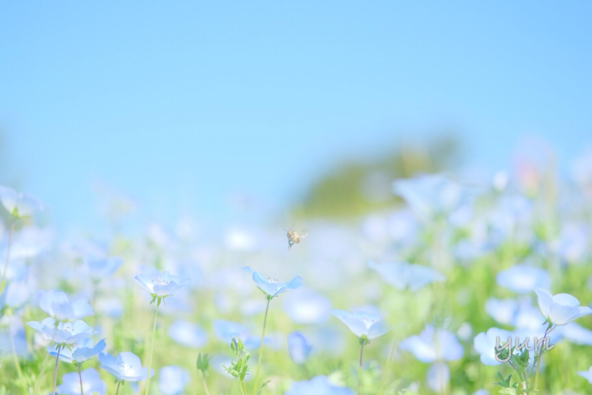 関西一のネモフィラ畑!淡路島 国営明石海峡公園で花まつり