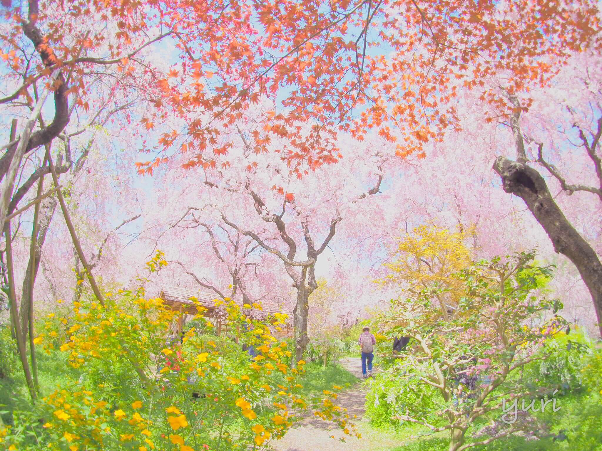 日本一の春に出会える場所。感動の原谷苑へ