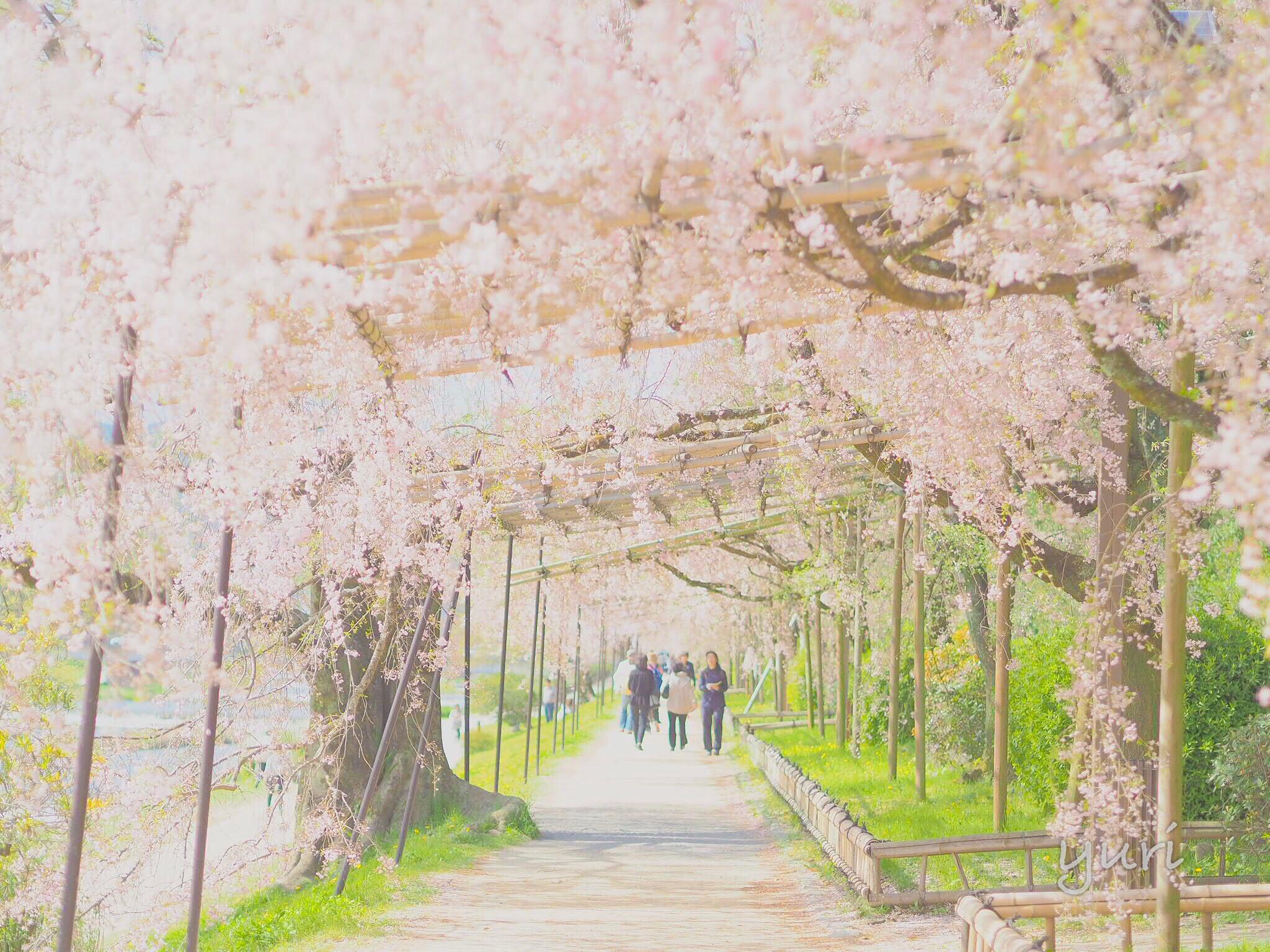 桜あふれる半木の道で春散歩