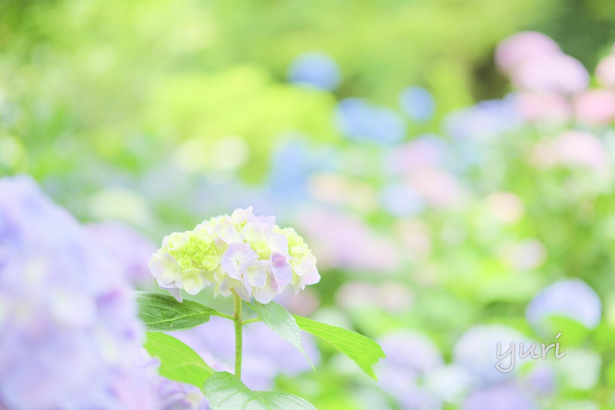奈良 矢田寺で紫陽花めぐり