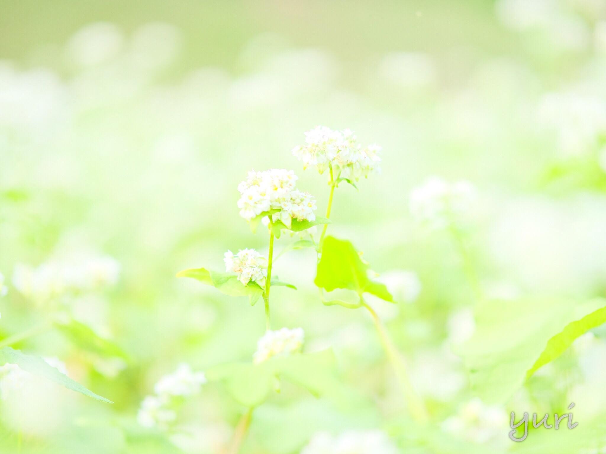 笠地区だけじゃない!奈良県明日香村にも蕎麦畑があった!