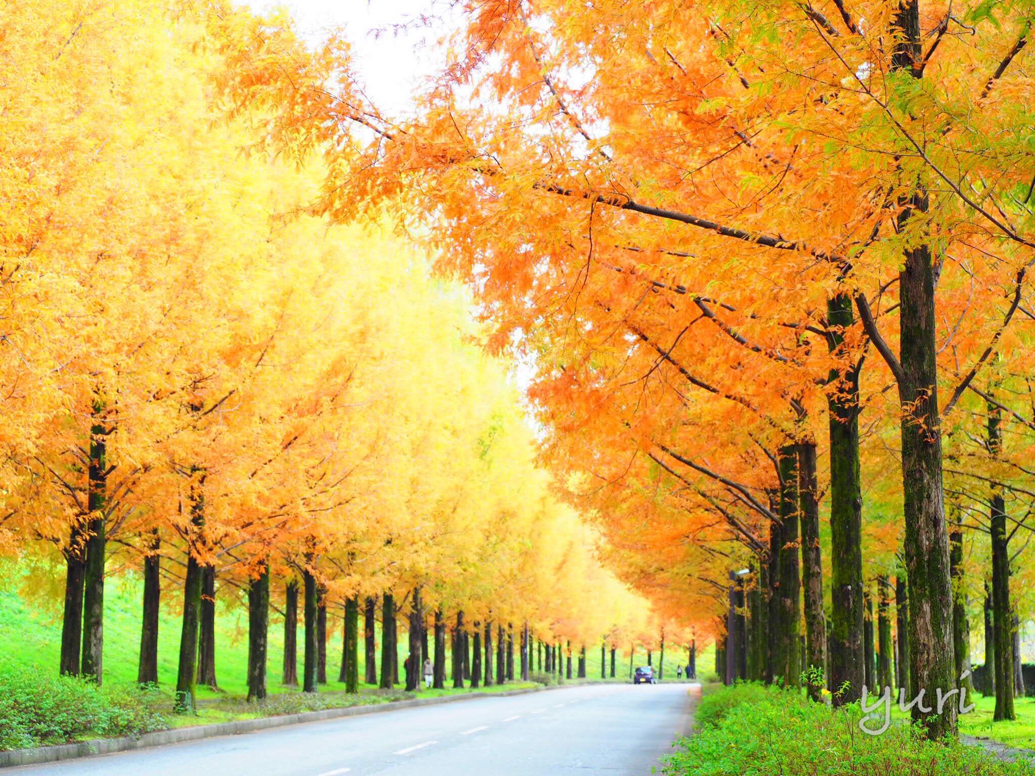 滋賀だけじゃない!金沢のメタセコイア並木「太陽が丘」で美しすぎる紅葉を