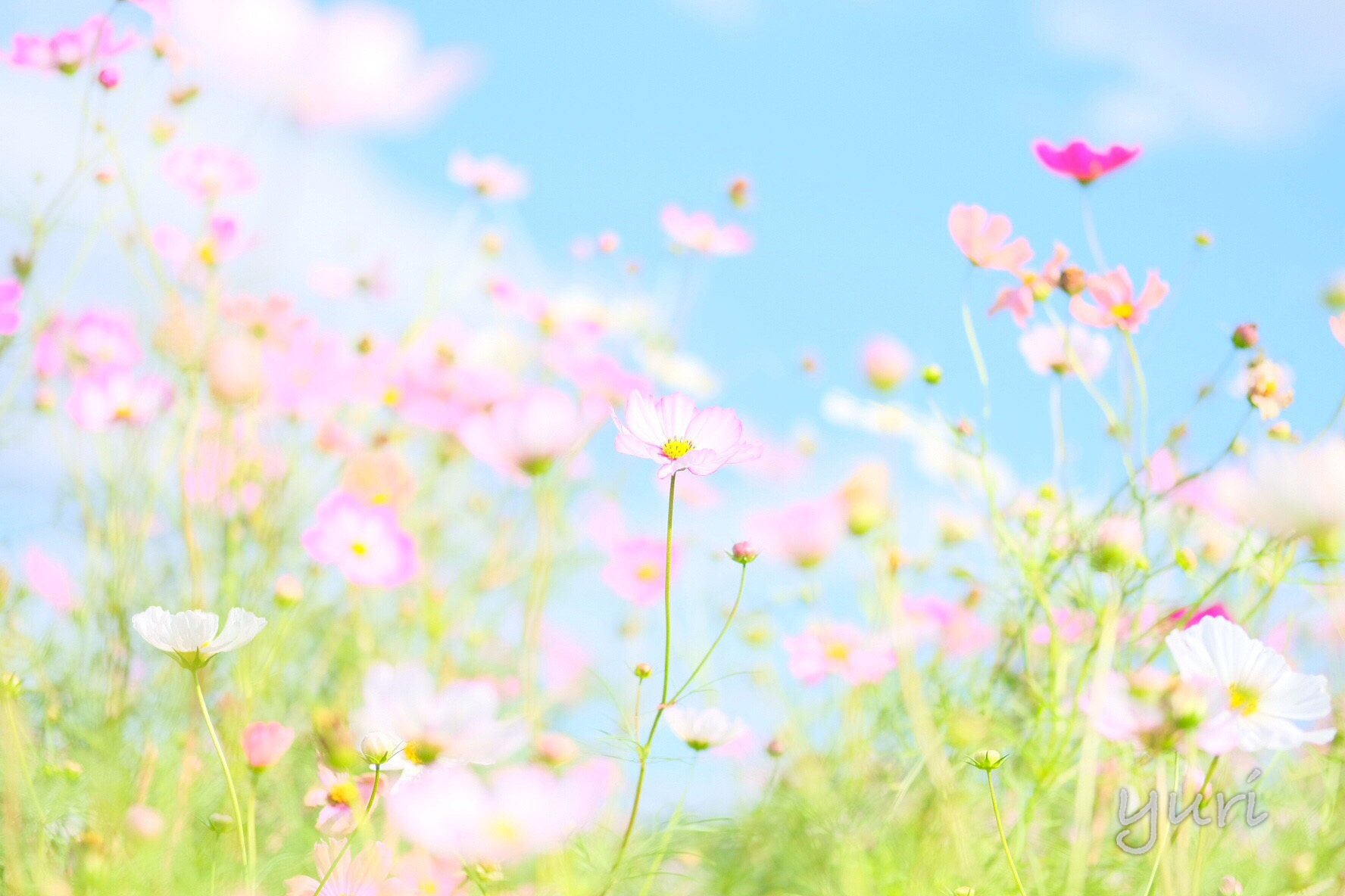 京都一カラフルなコスモス畑 亀岡夢コスモス園で見頃の花畑を撮影