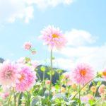 黒川ダリア園で彩り豊かなダリアたちに一目ぼれ