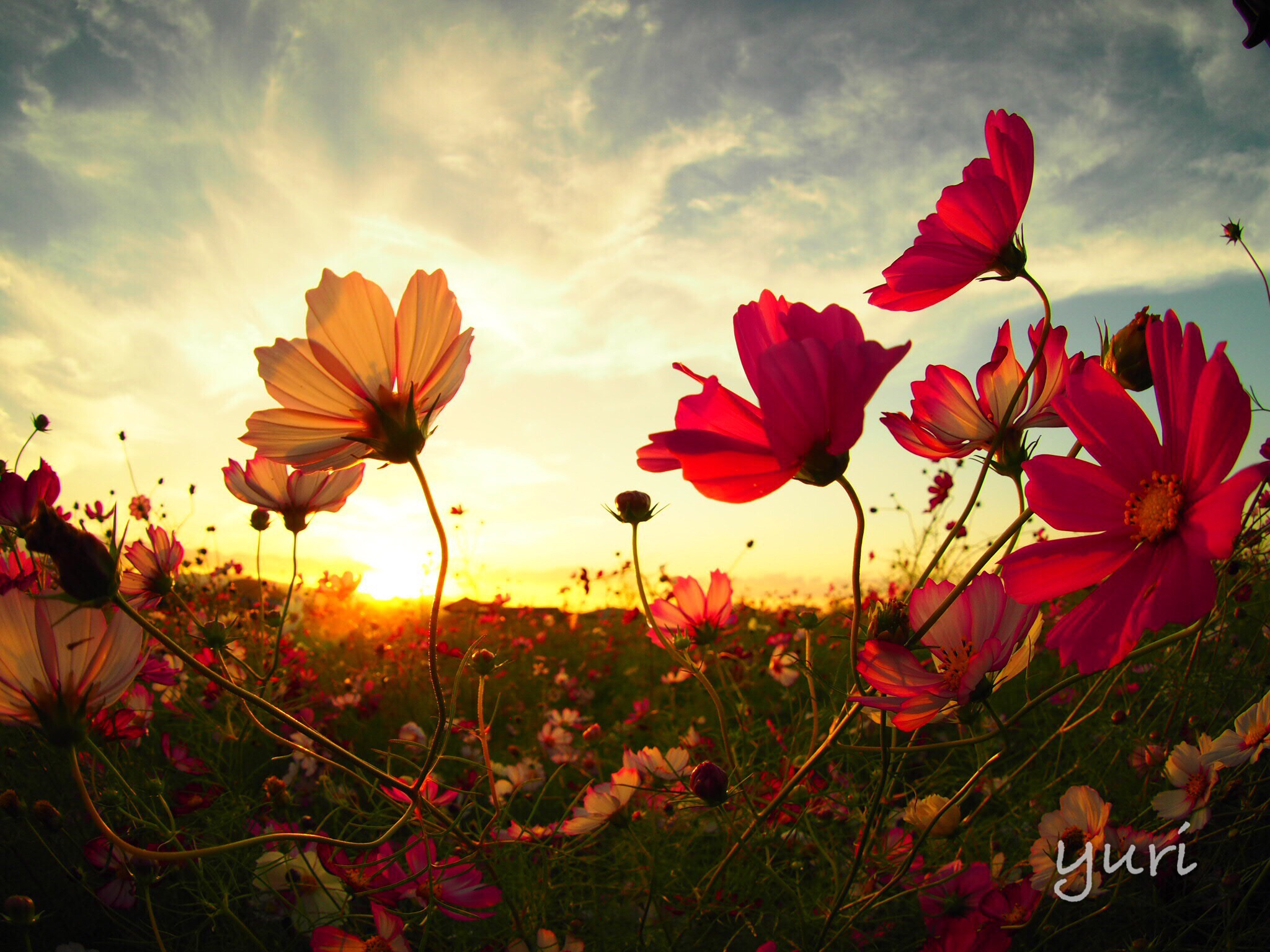 秋の撮影におすすめ!関西のコスモス畑をカメラ女子目線で比べてみた