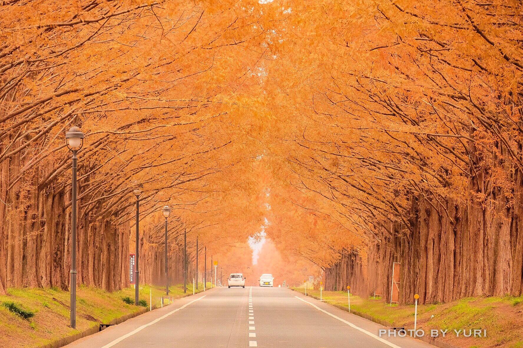 紅葉の絶景を撮影!メタセコイア並木には望遠レンズを持っていこう