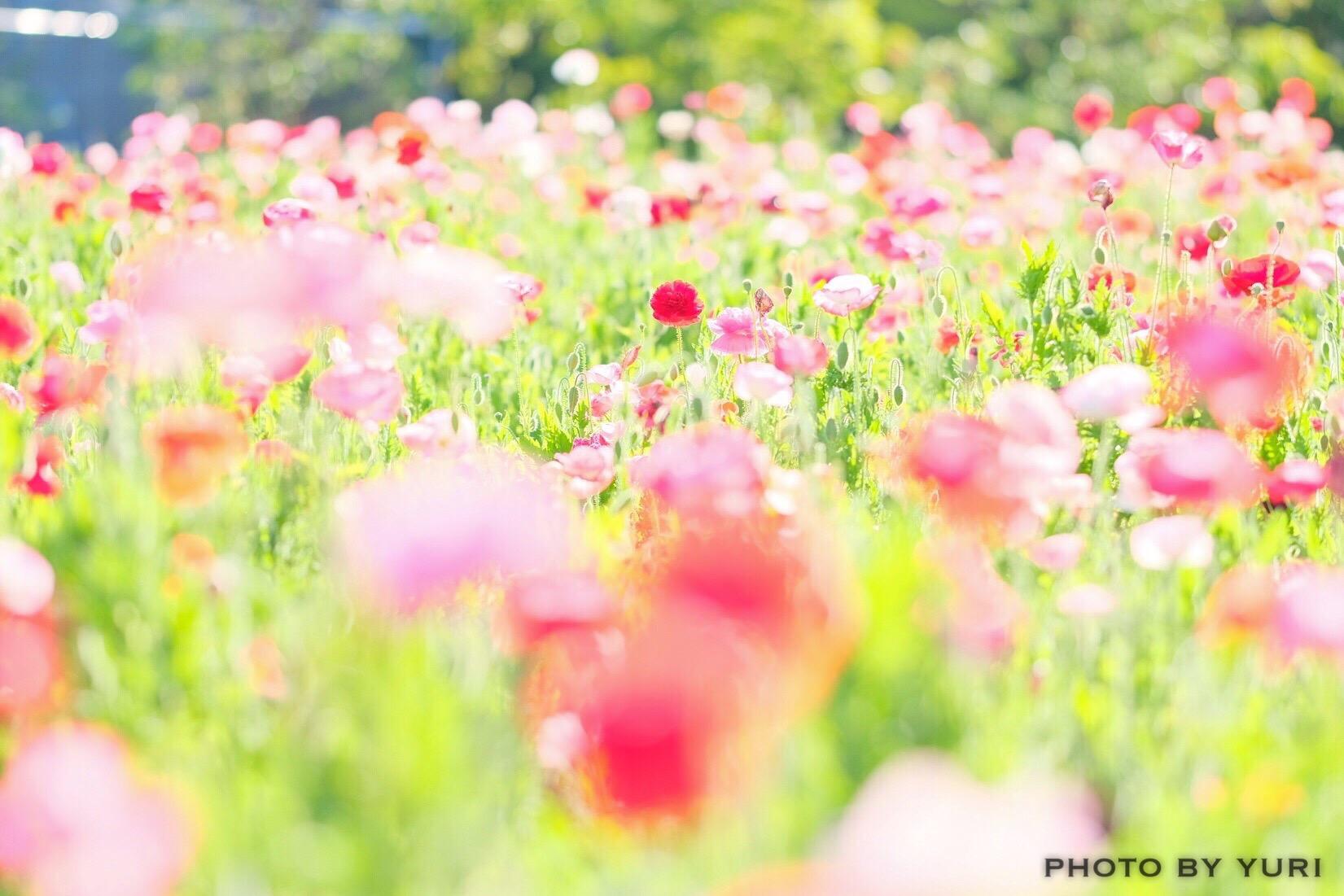 Zekkei Japanと 花 絶景 をテーマに コラボ壁紙を作成しました