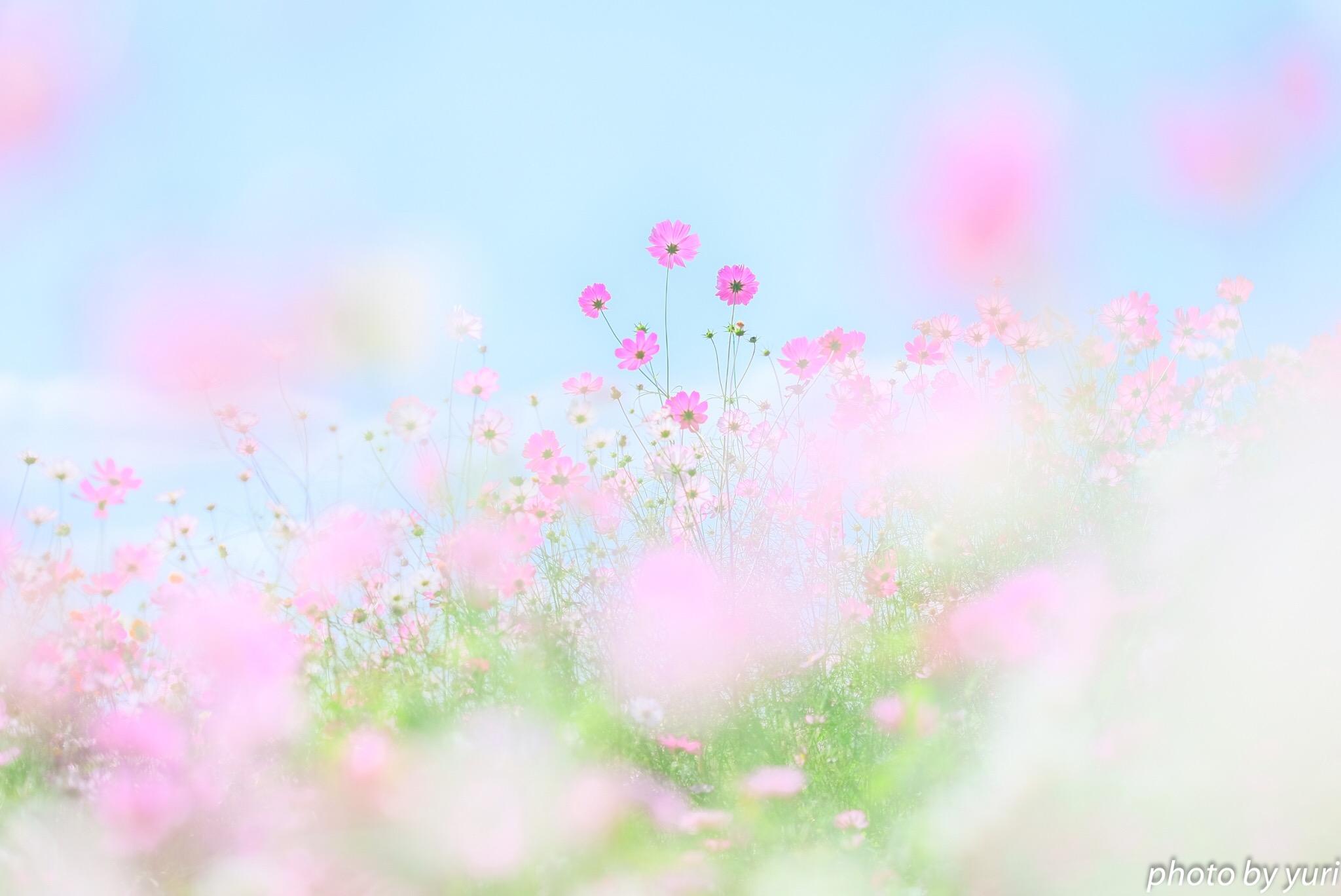 ふんわりかわいいお花写真を撮るために!135mmレンズのすすめ