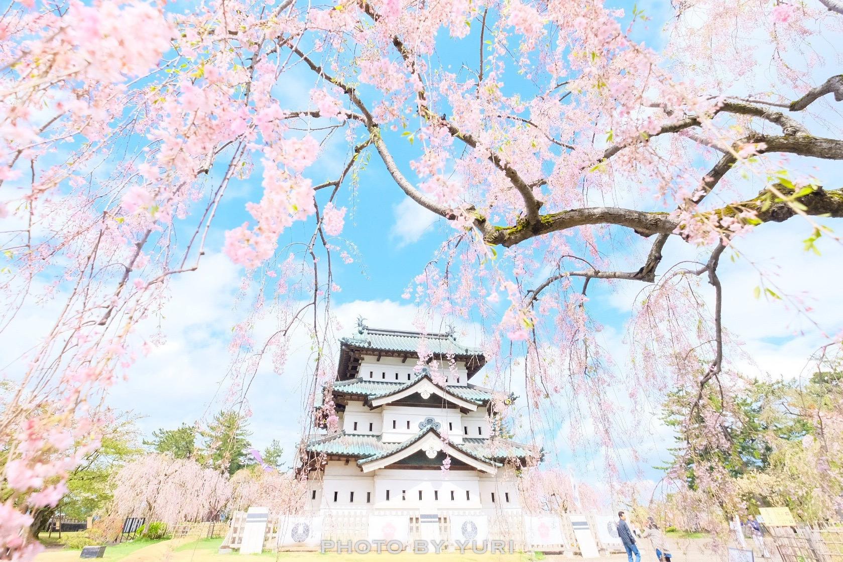 青森行き航空券は入手困難!GW早期予約で弘前城公園の桜を見る方法