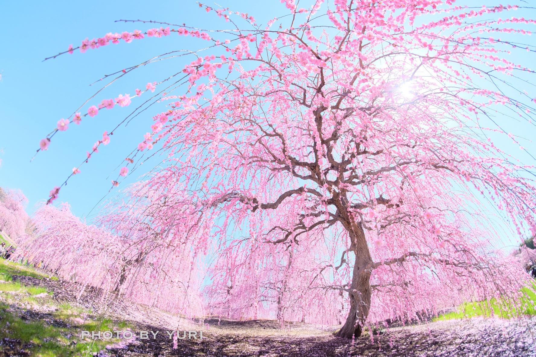 梅・河津桜を同時期に楽しめる!3月の三重は絶景だらけ
